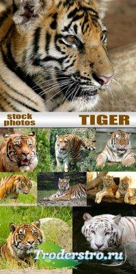 Тигры - Клипарты