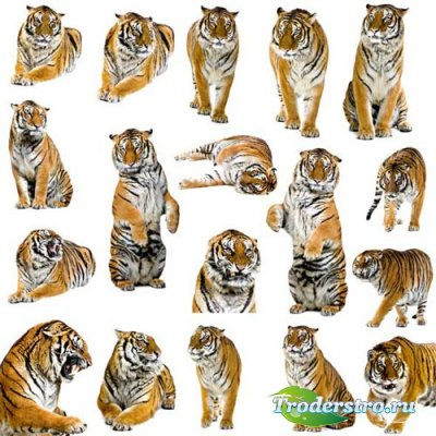 Тигры - Клипарт для фотошопа
