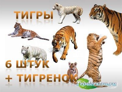 Тигры (6 шт.) + тигренок - Клипарт для фотошопа