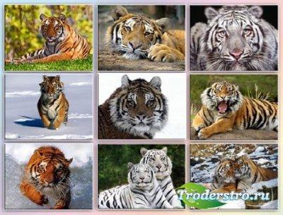 Обои - Тигры