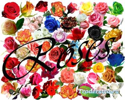 Клипарт – Прекрасные розы