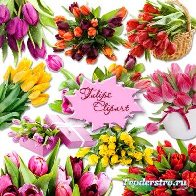 PNG клипарт на прозрачном фоне - Разноцветные тюльпаны