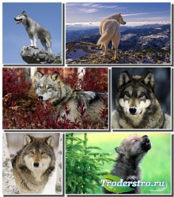 Новый набор обоев с животными - Волки