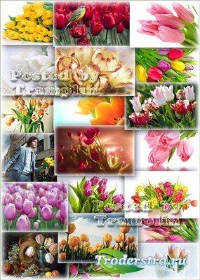 Тюльпаны – Весенний клипарт - фоны