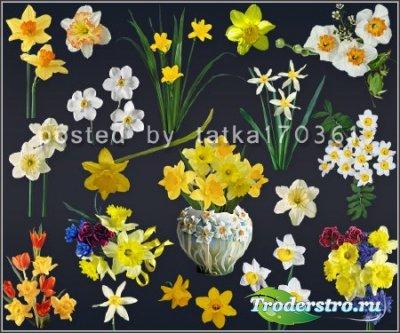 Цветочный клипарт для фотошопа - Жёлтые и белые нарциссы