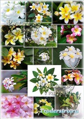 Цветочный фото клипарт  -  Удивительная Плюмерия