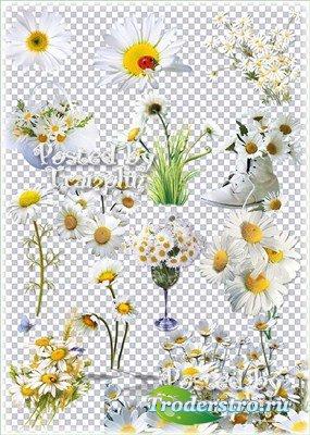 Ромашки – Букеты, поляны, композиции на прозрачном фоне
