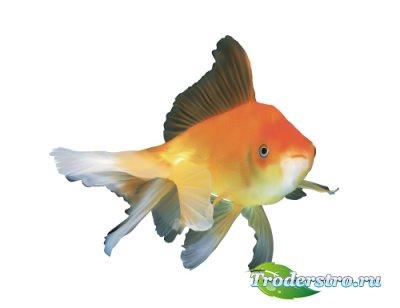 Реалистичная рыбка золотая (Вектор)