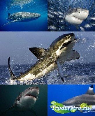 Обои акул на рабочий стол
