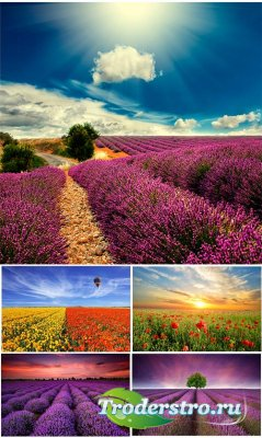Клипарт - цветущие поля лаванды и маков