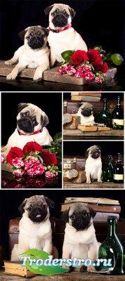 Породистые щенки мопс / Purebred pug puppies - Stock photo