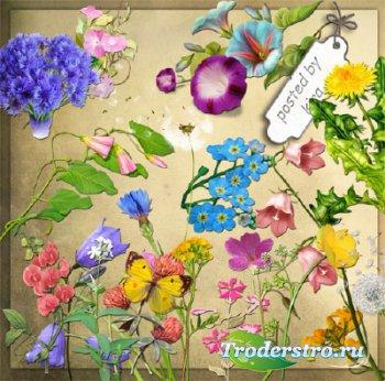 Клипарт в png - Незабудки, одуванчики, колокольчики и другие полевые цветы