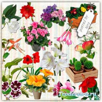 Клипарт без фона - Кактусы, гибискус, глоксинии и другие комнатные цветы
