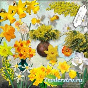 Клипарт цветочный - Нарциссы и мимозы на прозрачном фоне