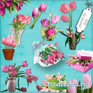 Клипарт - Розовые тюльпаны на прозрачном фоне
