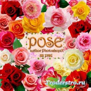 Клипарт на прозрачном фоне - Шикарные розы