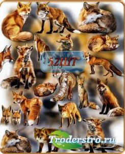 Растровые клипарты - Рыжая лиса