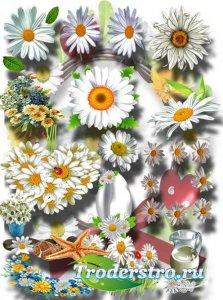 Клипарты картинки - Коллекция ромашек