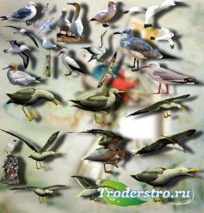 Фотошоп Png клип-арты - Морские чайки