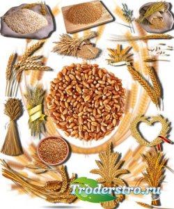 Новые клипарты Png - Золотая пшеница