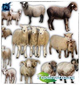 Клип-арты png - Овцы