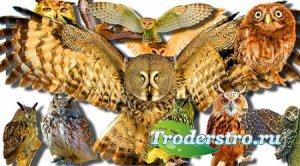 Коллекция Png клип-артов - Лесные совы