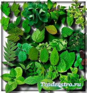 Растровые клип-арты - Зеленые листья