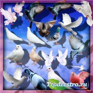 Клип-арты на прозрачном фоне - Дикие и домашние голуби