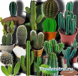 Прозрачные клипарты для фотошопа - Зеленые кактусы