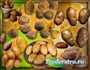 Png клипарты для фоторамки - Картошка