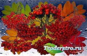 Клипарт Ягоды и листья осенней рябины