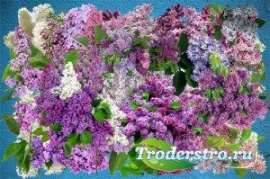 Клипарт Весны сиреневой цветы
